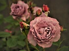 咲きほこるバラ 2