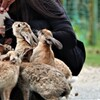 大久野島のウサギさん 1