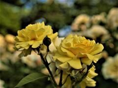 咲きほこるバラ 1