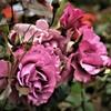 咲き誇る薔薇