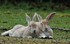 仲むつまじきウサギさん