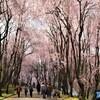 しだれ桜の並木道~