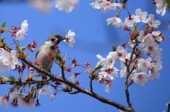 桜風車-2