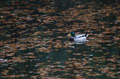 落葉の浮かぶ池