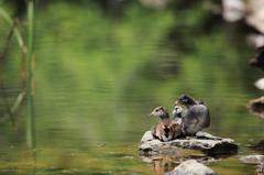 緑の池の兄弟