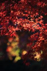 木漏れ日に浮かぶ紅葉