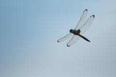 飛んでるトンボ 6