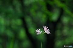 公園 森の中のナツスイセン 2