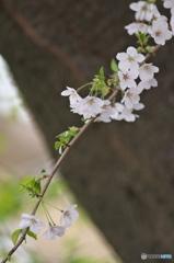 桜の花を花として撮ってみた 7