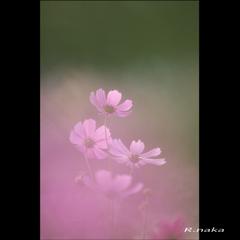 花の丘 コスモス 10 花フィルター