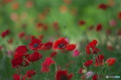 公園の花の丘、、シャーレーポピー