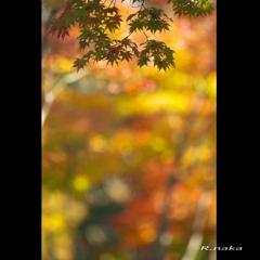 公園の紅葉 7