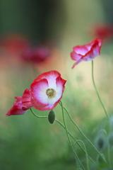 花の丘シャレーポピー