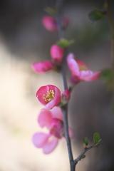 公園のボケの花