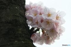 桜の花を花として撮ってみた 9