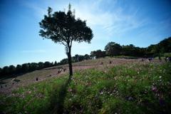 公園花の丘コスモス