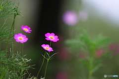 公園 花の丘 コスモス 7