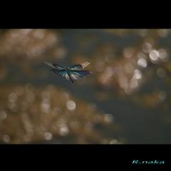 夏のトンボ 1 チョウトンボの飛翔 !