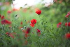 花の丘シャーレーポピー