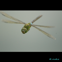 飛翔のギンヤンマ 1
