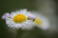 公園のお花 ハルジオン