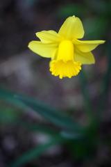 妖精の森の黄水仙