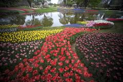 公園のチューリップ