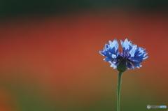 公園の赤い森 Ⅱ お花達 8