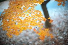 公園の紅葉を50mmで。
