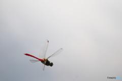 今年最後の飛んでるトンボ 2