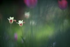 妖精の森の原種チューリップ
