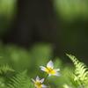 妖精の森のサクサンティリス
