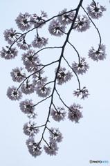 桜の花を花として撮ってみた 16