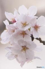 桜の花を花として撮ってみた 13