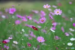 公園 花の丘 コスモス 1