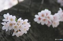 桜の花を花として撮ってみた 11