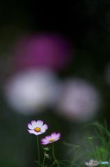 公園 花の丘 コスモス 3