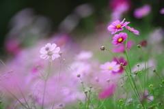 花の丘コスモス
