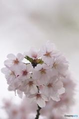 桜の花を花として撮ってみた 10