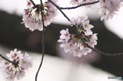 桜の花を花として撮ってみた 15