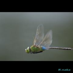 飛翔のギンヤンマ 2