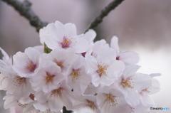 桜の花を花として撮ってみた 12