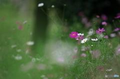 公園 花の丘 コスモス 4