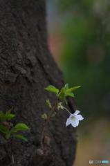 桜の花を花として撮ってみた 8