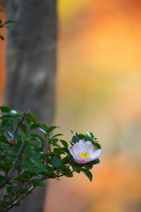 日本庭園のサザンカ