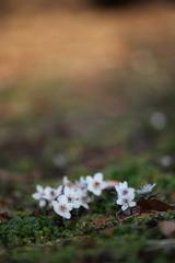 公園のセツブン草