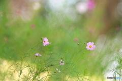 公園のコスモス咲き始めました。 2