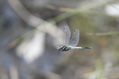 公園の飛んでるトンボ