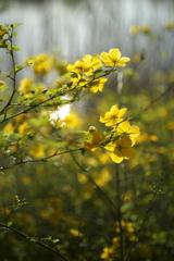 公園の山吹の花