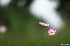 公園 花の丘 コスモス 6
